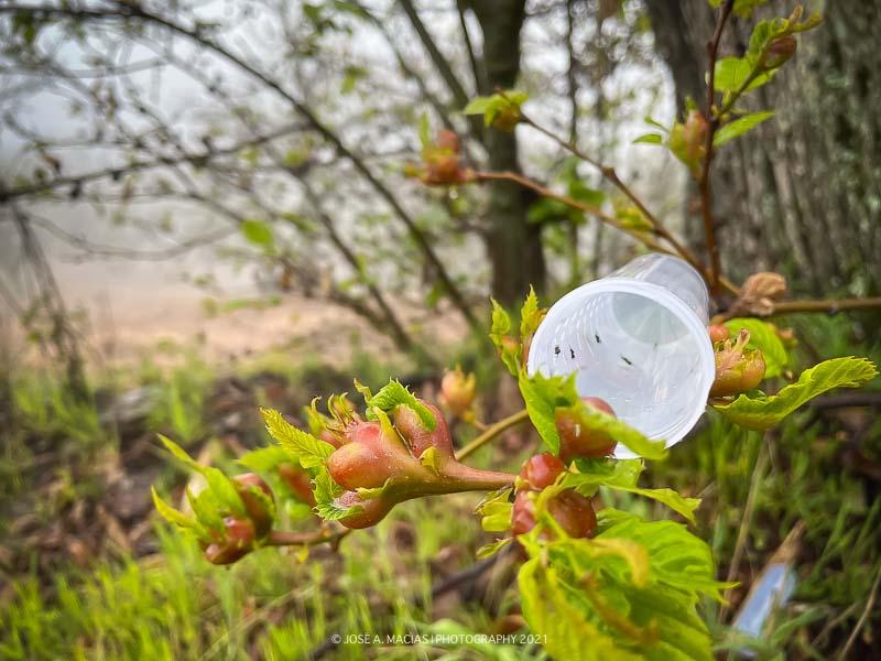 agallas-castaño-suelta-torymus-sinensis-yunquera-bosque-de-cobre-castañar